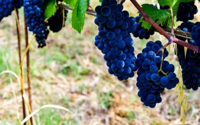 GRAPE HARVEST 2021 IN LOMBARDY, STARTING AGAIN WITH THE OLTREPÒ PAVESE